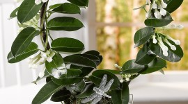 Madagascar Jasmine Wallpaper For Mobile