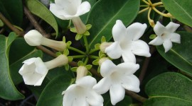 Madagascar Jasmine Wallpaper For PC