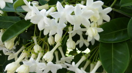 Madagascar Jasmine Wallpaper Gallery