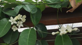 Madagascar Jasmine Wallpaper HQ