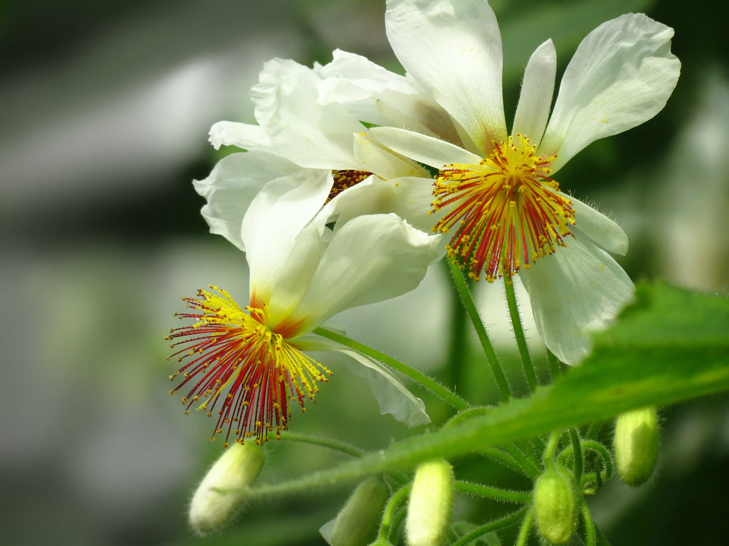 Sparmannia wallpapers HD