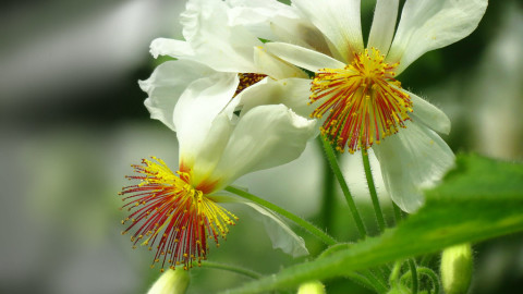 Sparmannia wallpapers high quality
