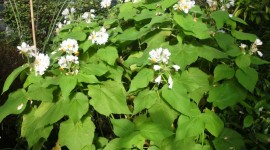 Sparmannia Photo Download