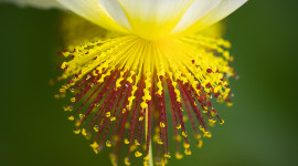 Sparmannia Wallpaper For IPhone Free