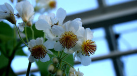Sparmannia Wallpaper Gallery