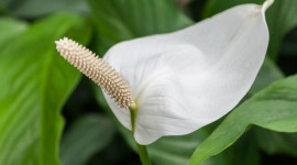 Spathiphyllum Aircraft Picture