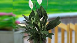 Spathiphyllum Image