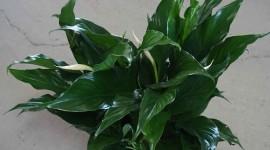 Spathiphyllum Photo