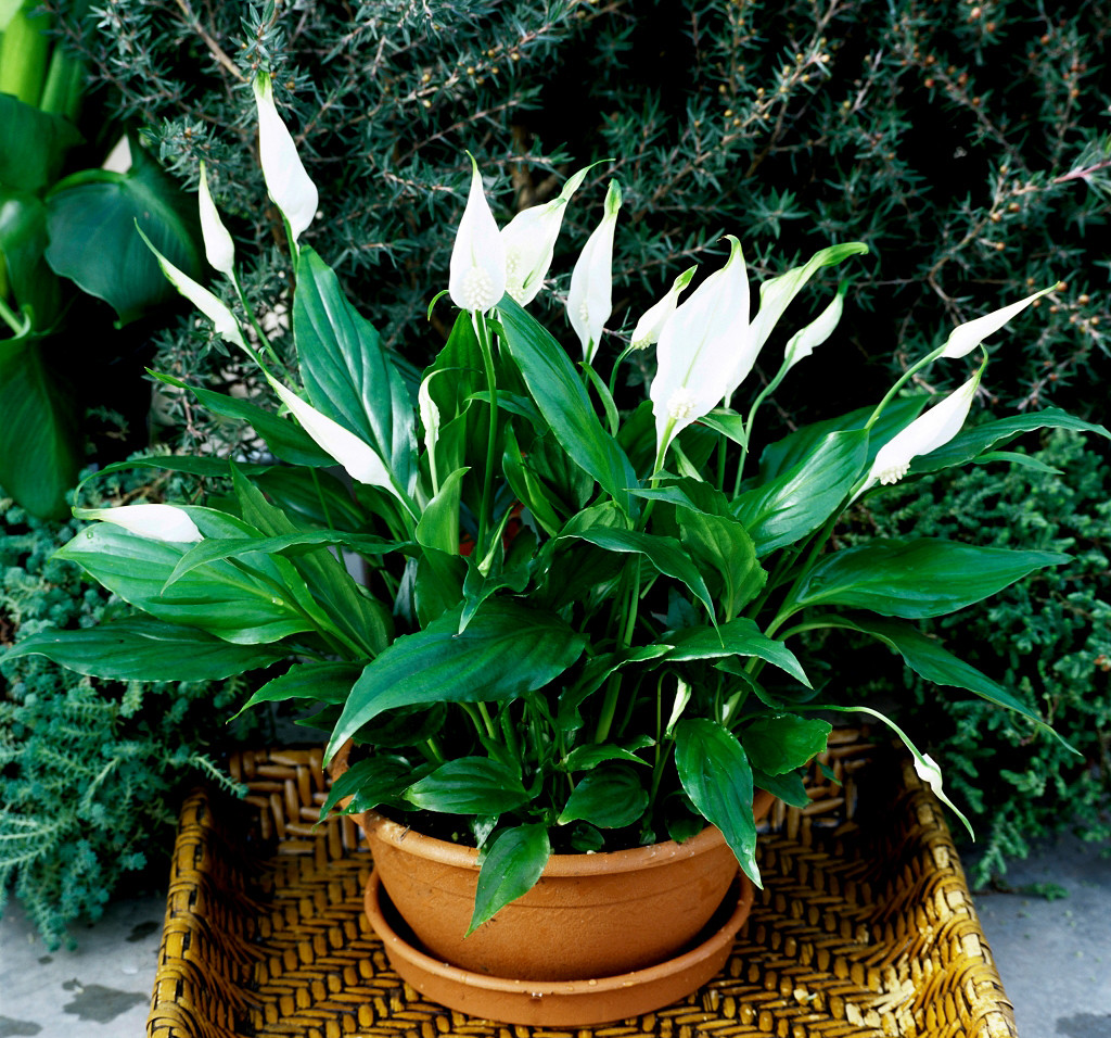 Spathiphyllum wallpapers HD