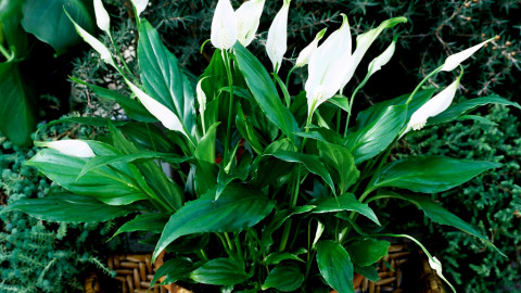 Spathiphyllum wallpapers high quality