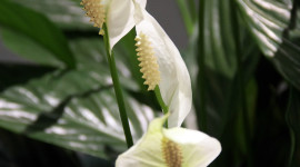 Spathiphyllum Wallpaper For Android#1