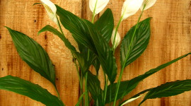 Spathiphyllum Wallpaper For IPhone Free
