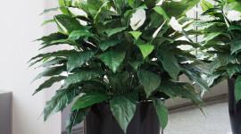 Spathiphyllum Wallpaper For Mobile#1