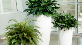 Spathiphyllum Wallpaper For Mobile#2