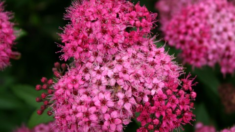 Spiraea wallpapers high quality