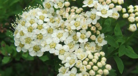 Spiraea Wallpaper For Android