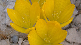 Sternbergia Wallpaper For Android