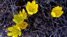 Sternbergia Wallpaper Gallery