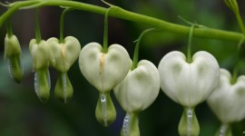 Bleeding Heart Desktop Wallpaper Free
