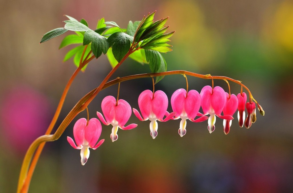 Bleeding Heart wallpapers HD