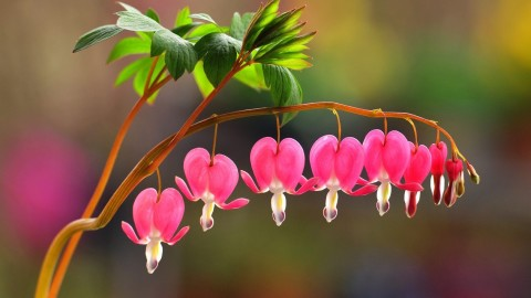 Bleeding Heart wallpapers high quality