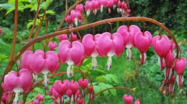 Bleeding Heart Wallpaper Full HD