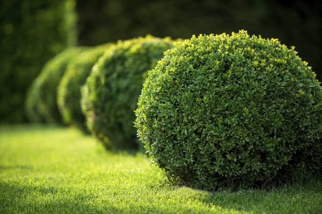 Boxwood wallpapers HD