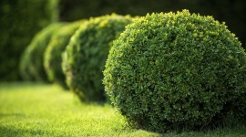 Boxwood Wallpaper