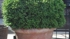 Boxwood Wallpaper For IPhone Download