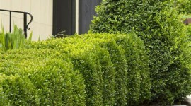 Boxwood Wallpaper For IPhone Free