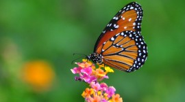 Butterfly Nectar Image Download