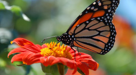 Butterfly Nectar Picture Download