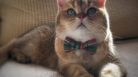 Cat With A Bow Picture Download
