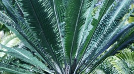 Cycads Photo Download