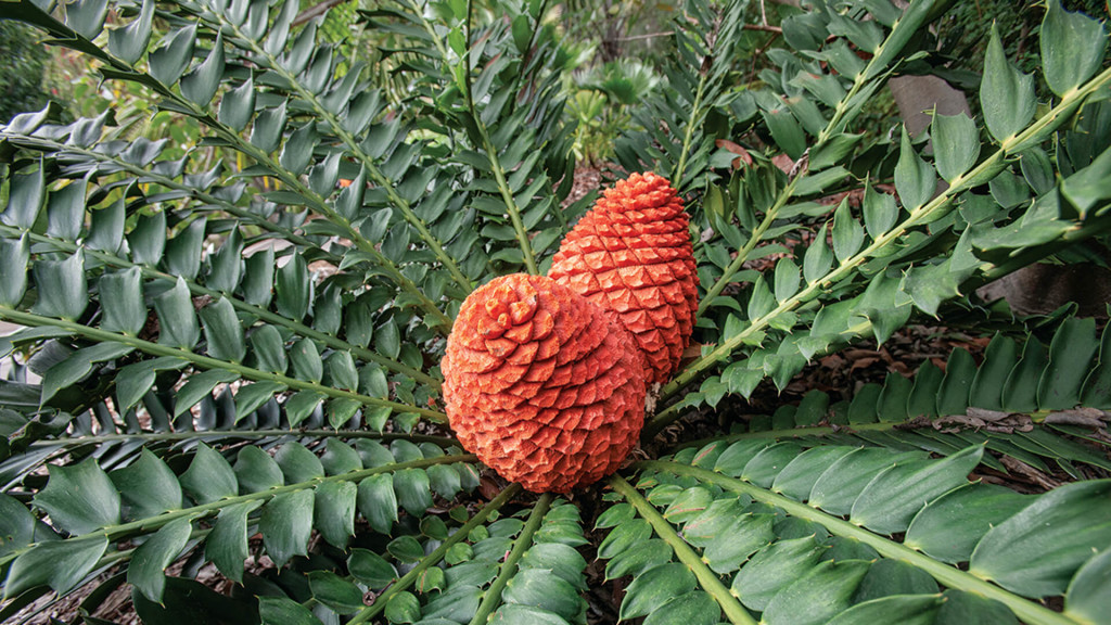 Cycads wallpapers HD