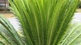 Cycads Wallpaper For Mobile