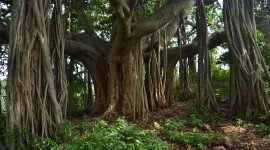 Ficus Wallpaper