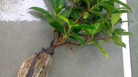 Ficus WallpapFicus Wallpaper Backgrounder Background