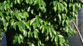 Ficus Wallpaper Download