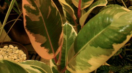 Ficus Wallpaper For IPhone