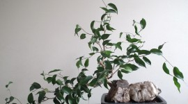 Ficus Wallpaper For PC