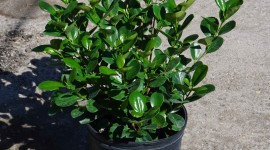 Ficus Wallpaper Gallery
