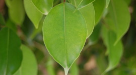 Ficus Wallpaper High Definition