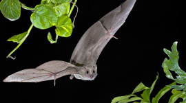 Flight Of The Bat Photo