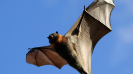 Flight Of The Bat Photo Download