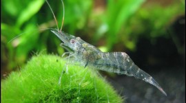 Glass Shrimp Picture Download