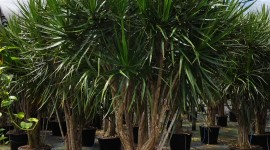 High Dracaena High Quality Wallpaper