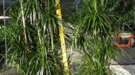 High Dracaena Wallpaper Download