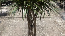 High Dracaena Wallpaper Download Free