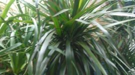 High Dracaena Wallpaper For IPhone
